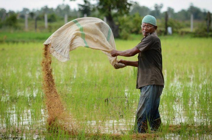 Paysan cambodgien au travail dans une rizière